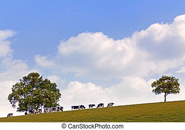 Dairy Cows grazing on a hillside - Dairy cows grazing on a...