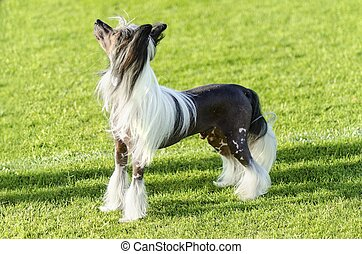 Chinese Crested dog - A small black and white hairless...