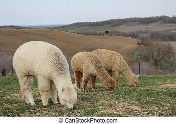 Herd of alpacas grazing - Three alpacas grazing in a pasture