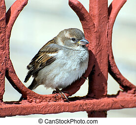 sparrow on a red fencing
