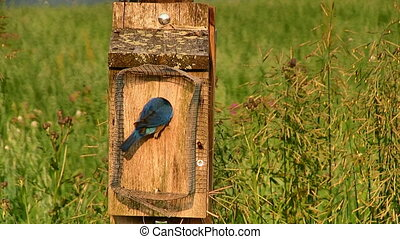 Eastern Bluebirds Feeding Babies - A pair of Eastern...