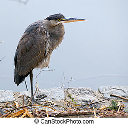 Heron hunting - Heron stands on one leg at ashore reservoir...