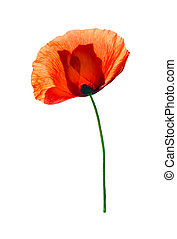 Red poppy isolated on white - Red field poppy (Papaver...