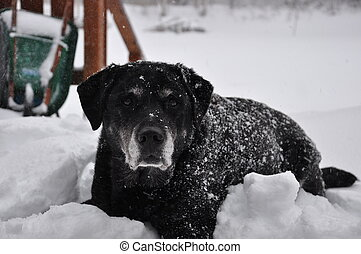 black labrador - black Labrador retriever lying in the snow