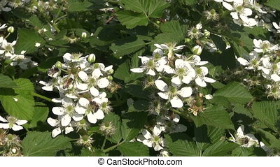 blackberry white blossoms and bee