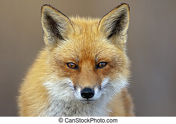 Red Fox looking directly at the viewer