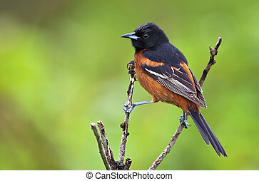 Orchard Oriole perched with green background.