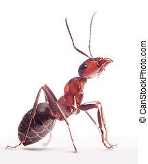 orgulloso, hormiga, formica, rufa