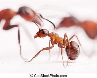 poco, hormiga, formica, rufa, grande, unos, Plano de fondo