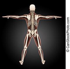 Male medical skeleton