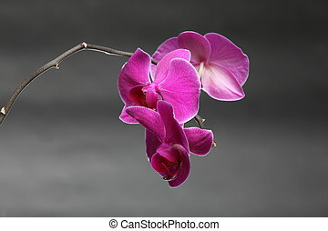 Phalaenopsis. Purple orchid on gray background -...