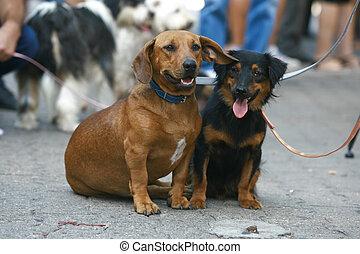 dog show dog mixed blood