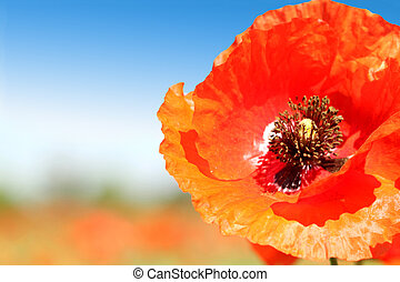 Poppy close-up
