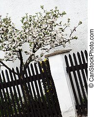 apple trees clothed in blossoms