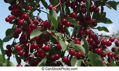 cherries - taste and lovely cherry orchard