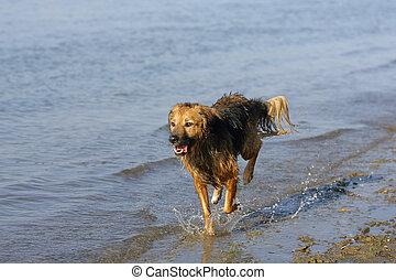 cão, Executando, através, água,...