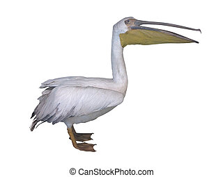 White pelican isolated over white background - White pelican...