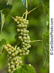 Vinery - Grapes on the plant in vineyard