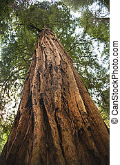 Large Redwood Tree Looking Straight Up Muir Woods National...
