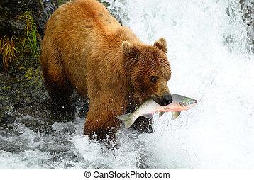 Brown bear catching a salmon