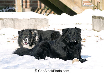 Border Collie and Labrador Retriever - A Border Collie...