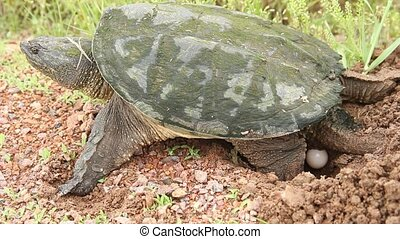 snapping turtle laying eggs in a nest