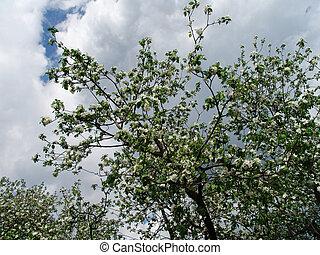 Apple tree 1 - An apple tree in bloom