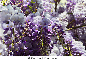 Glicine wisteria flowers close up Blue, white, perple,...