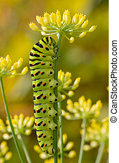 Old World Swallowtail caterpillar - Old World Swallowtail...