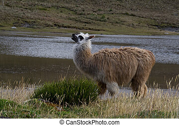 alpaca mother - a posing alpaca mother in front of a lake