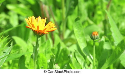 Orange flower of calendula on light wind in sunny day on...
