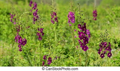Beautiful wild flowers Purple Mullein (Verbascum phoeniceum)...