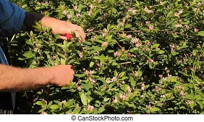 pruning a shrub - gardener using a hand tool to prune a...