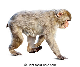 Wakking japanese macaque over white background - Wakking...