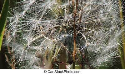 Spring dandelion on natural background