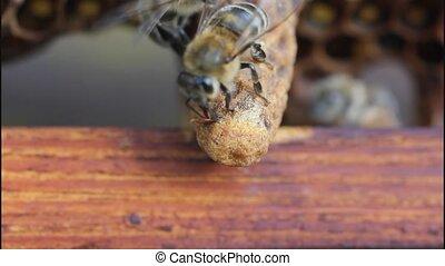 Birth of Queen Bee - Queen bee cocoon inside reveals for the...