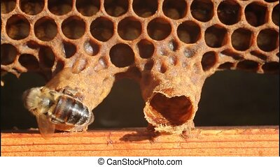 Birth of Queen Bee - Bees reveal cocoon Queen Bee
