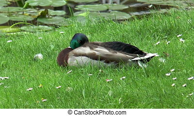 Beautiful duck lying in grass close - Beautiful duck lying...