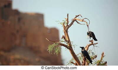 Crows. - Two crows on the branches of dried tree.