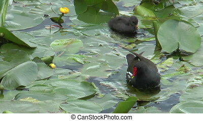 moorhen with baby closeup