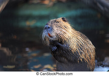 Nutria shows the big teeth on the bank of lake