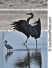 Big Brother - Great blue heron and white egret in pond