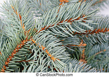 fresh blue spruce branch background - fresh blue spruce...
