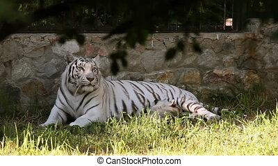 White tigress - Gorgeous white tigress lying on the grass,...