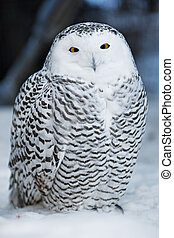 Snow owl - A close up of a snowy owl