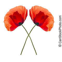 Two red poppies isolated - Two red field poppies isolated on...