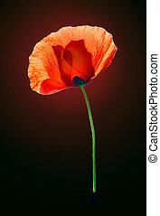 Red poppy on dark brown background - Red field poppy on dark...