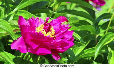Flower of peony with bee - One purple flower of peony with...