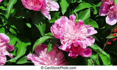 Pink flowers of peony on foliage background on light wind in...
