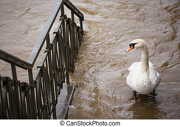 Flood in Prague - swan on the street
